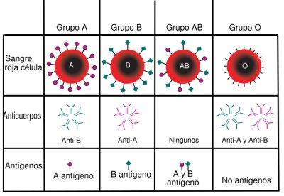 anticuerpos-sangre.jpg