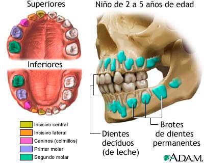 A qu edad se caen los dientes de los ni os web del beb for Suelo que se me caen los dientes